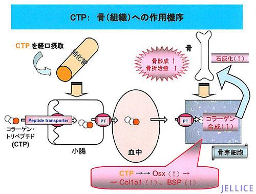 コラーゲントリペプチドは骨芽細胞に刺激を与える