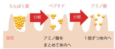 コラーゲン吸収の仕組みの画像