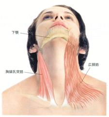 広頚筋と胸鎖乳突筋の画像