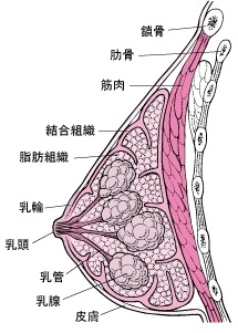 乳房の構造の画像