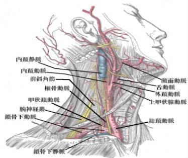 首の筋肉と血管の画像