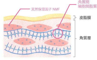 細胞間脂質、天然保湿因子の画像