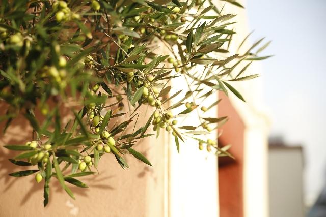 オリーブの木の画像