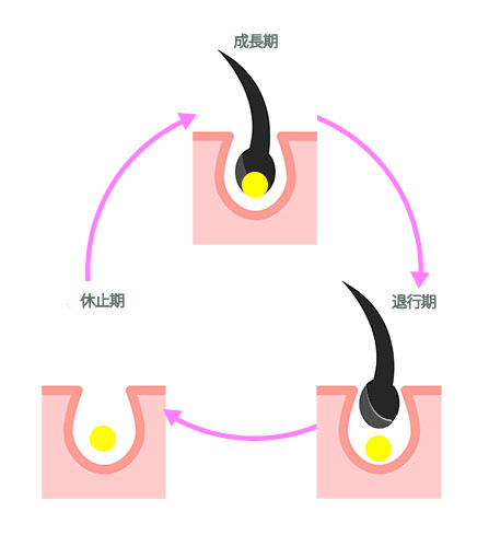 毛周期の画像