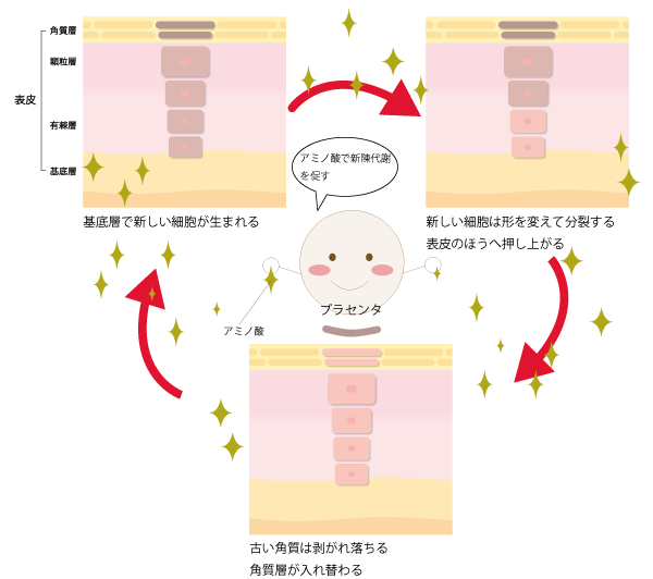 肌とプラセンタの関係の画像