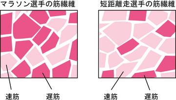 筋繊維の画像