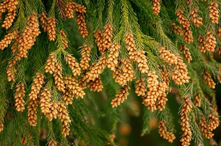 杉花粉の画像