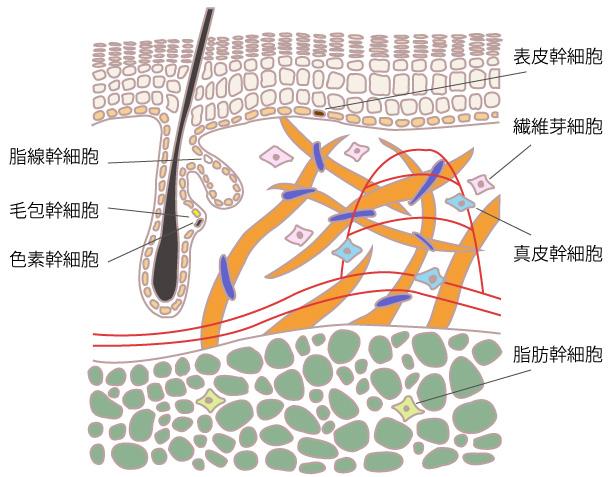 6つの幹細胞の画像