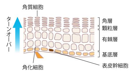 表皮幹細胞とターンオーバーの画像