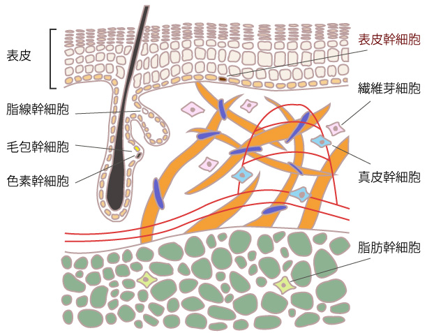 表皮幹細胞の画像