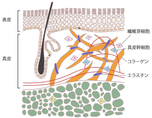 肌とコラーゲンと繊維芽細胞の画像
