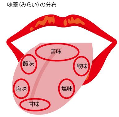 味蕾の分布の画像