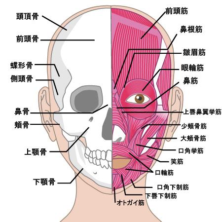顔の筋肉の画像
